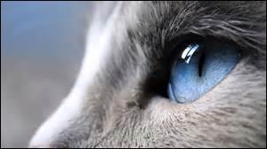 Combien le chat possède-t-il de paupières sur un œil ?