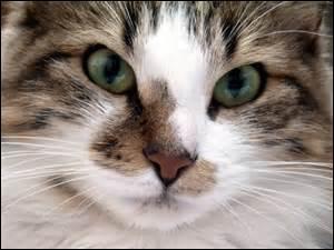 Comment communique le chat ? (principalement)