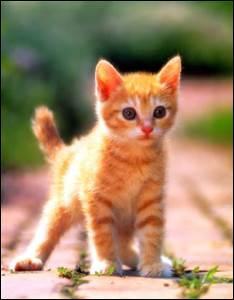 Tous les chats savent très bien nager et ils n'hésiteront pas à se jeter à l'eau s'ils y sont contraints...