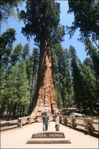 """Voici l'arbre appelé """"Général Sherman"""", un séquoia géant qui est...."""