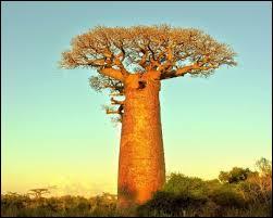 Comment appelle-t-on les fruits qui poussent sur un baobab ?
