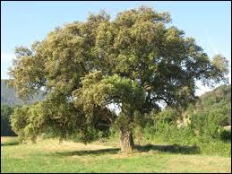 Le liège provient de l'écorce de quelques arbres et bien sûr de celle ….. (Complétez)
