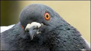 Pendant la Seconde Guerre mondiale, on utilisait des pigeons photographes pour espionner l'ennemi.