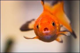 La mémoire d'un poisson rouge est de trois secondes.