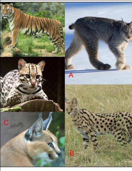 Mais où se trouve le serval ?