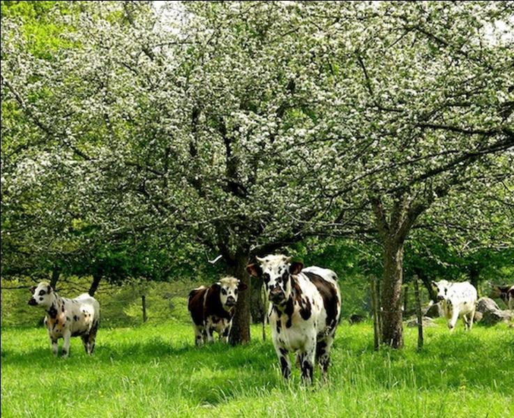 """De quelles couleurs étaient les vaches dans la chanson """" Made in Normandie """" interprétée par le duo Stone et Charden ?"""