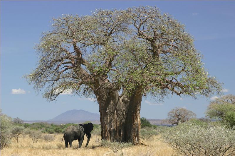 """Le fruit du """"baobab"""" est comestible et se nomme le pain de singe."""