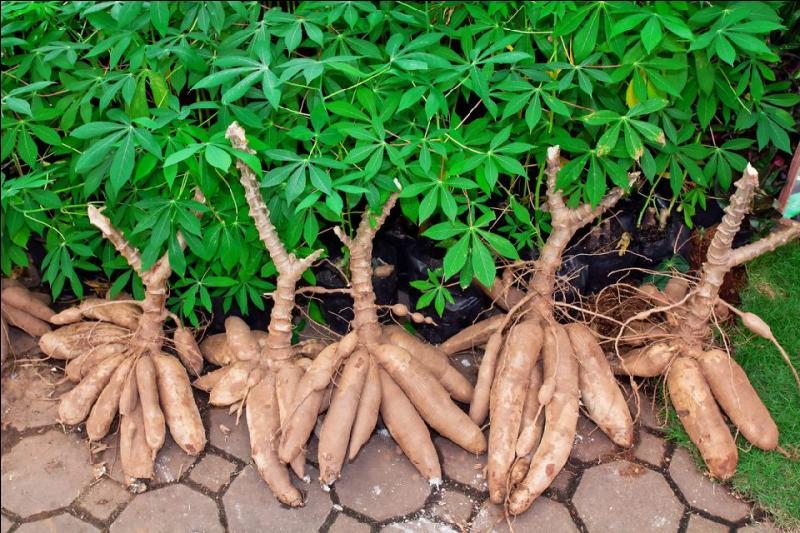 Dans le cas où elle serait végétarienne, la réponse est toute trouvée : un bon plat de manioc fera l'affaire ! Surtout, ne le faites pas trop cuire. Pourquoi donc ?