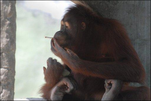 Dans l'Indiana aux États-Unis, une loi interdit aux singes de...