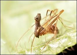 Quel est cet arachnide au physique particulier ?