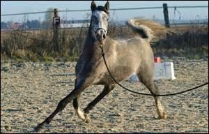 Galop 3 ffe quiz qcm chevaux galop 3 for Race de coq qui ne chante pas