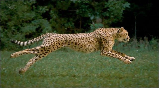 Quelle est la vitesse de pointe du guépard ?