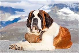 Ce chien est un saint-bernard.