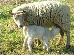 Le petit de la brebis est un agneau ou une agnelle.