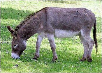 L'âne est un herbivore.