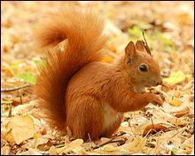 Cet animal est un écureuil roux.
