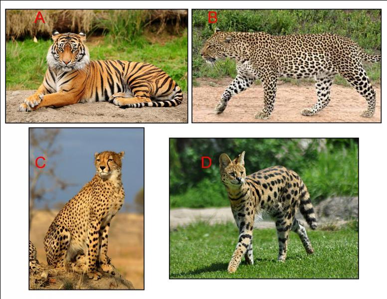 Le guépard aux griffes non rétractiles se trouve en :