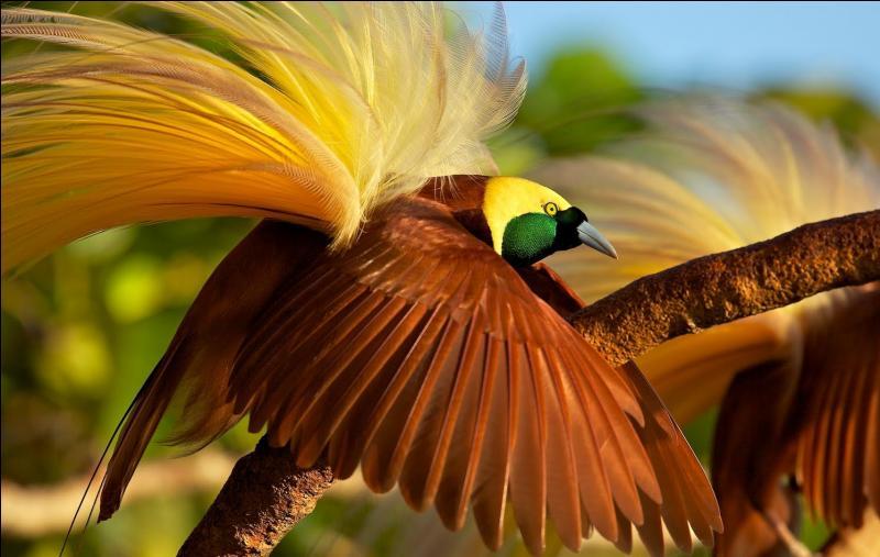 A l'exception de quelques espèces, où vivent généralement les oiseaux de Paradis, tel que le paradisier Emeraude ?