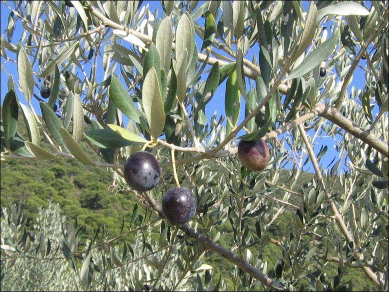 Quelle ville de la Drôme est connue pour ses spécialités, l'olive et l'huile d'olive ?