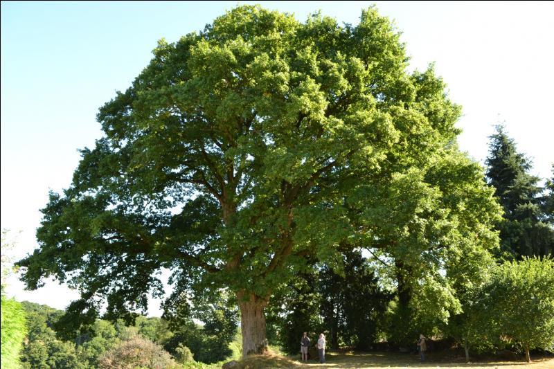 Ce chêne est magnifique, n'est-ce pas ? À quel légume pourrait-il vous faire penser ?