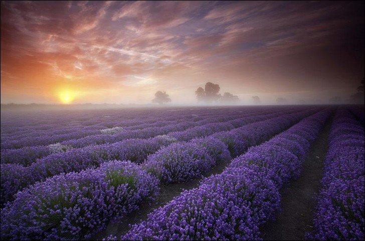 Cultivée à l'époque des Romains pour parfumer les bains et le linge, la lavande a fait son apparition en Provence au Moyen Âge pour ses vertus olfactives et médicinales. Mais, c'est au XIXe siècle que la culture de cette fleur se développe. On retrouve les champs de lavande en France mais aussi...
