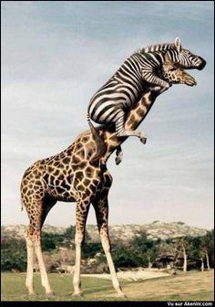 Le zèbre et la girafe ont perdu leurs amis ! Après qui cherchent-ils ?