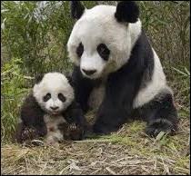 Quelle est la spécialité de la maman du petit panda ?