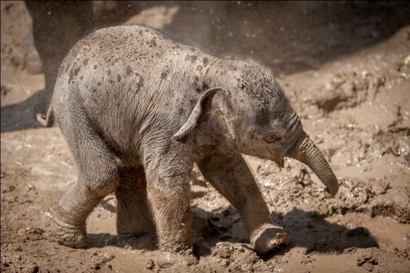 Il n'y a qu'une seule espèce d'éléphant en Afrique !
