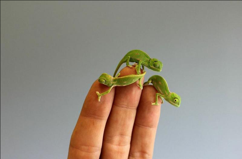 On trouve le caméléon seulement à Madagascar !