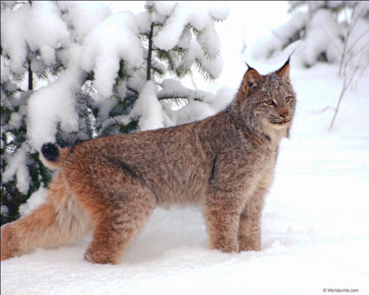 Cet animal s'appelle le loup-cervier !