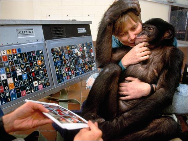 C'est en Afrique du Sud que vit le bonobo !