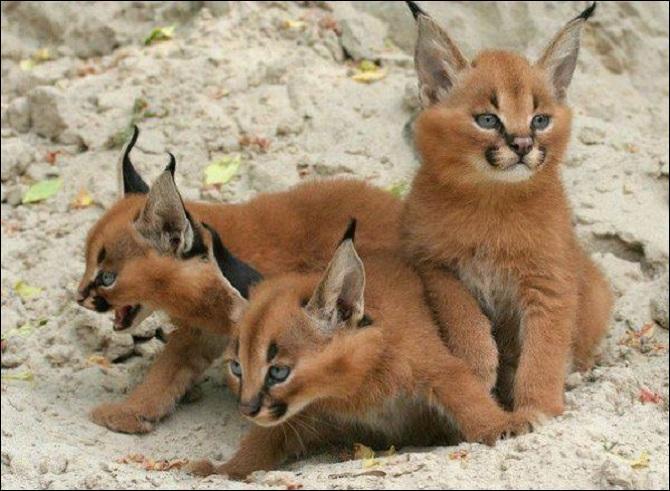 En France, c'est dans le Jura que l'on a le plus de chances de voir des lynx d'Eurasie, comme ceux de la photo !