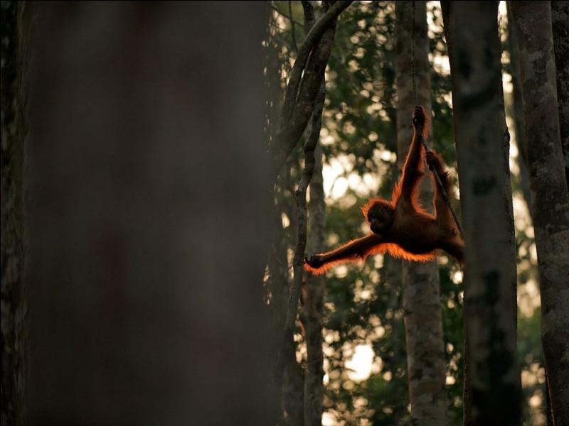 On peut voir des orangs-outans dans les forêts de Sumatra !