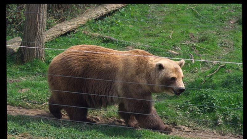 Le petit d'un grizzli et d'un ours polaire (mâle et femelle bien sûr) s'appelle le grolar !