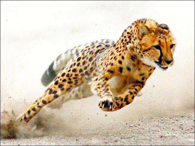 Il y a des guépards en Asie !