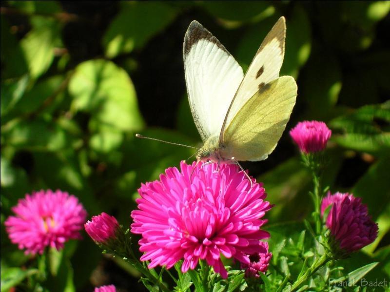 Ce papillon est une...