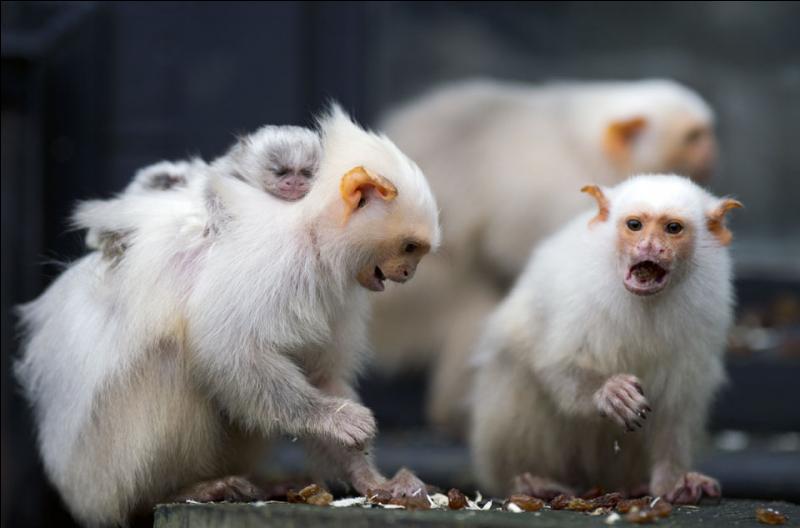 Connaissez-vous le nom de ces petits singes ?