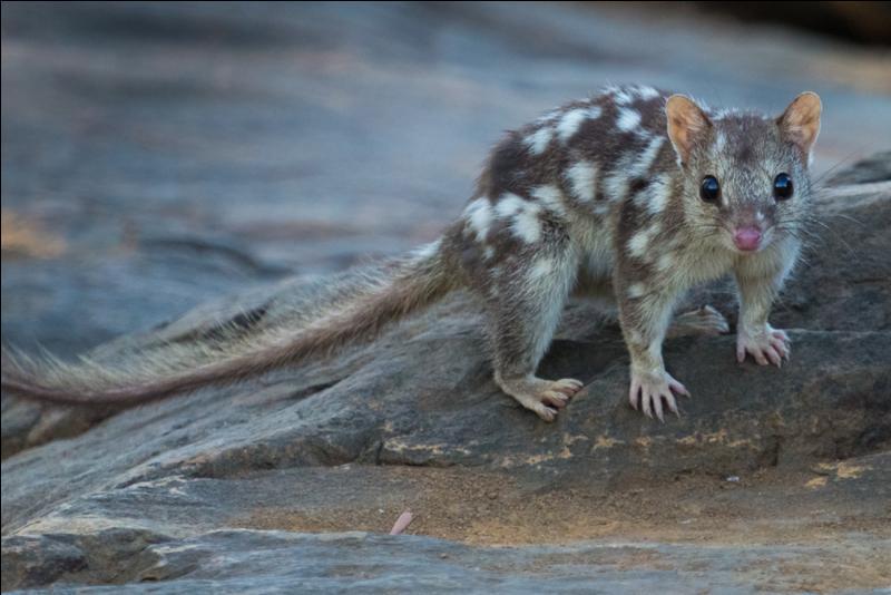 Connaissez-vous le nom de ce petit mammifère australien ?
