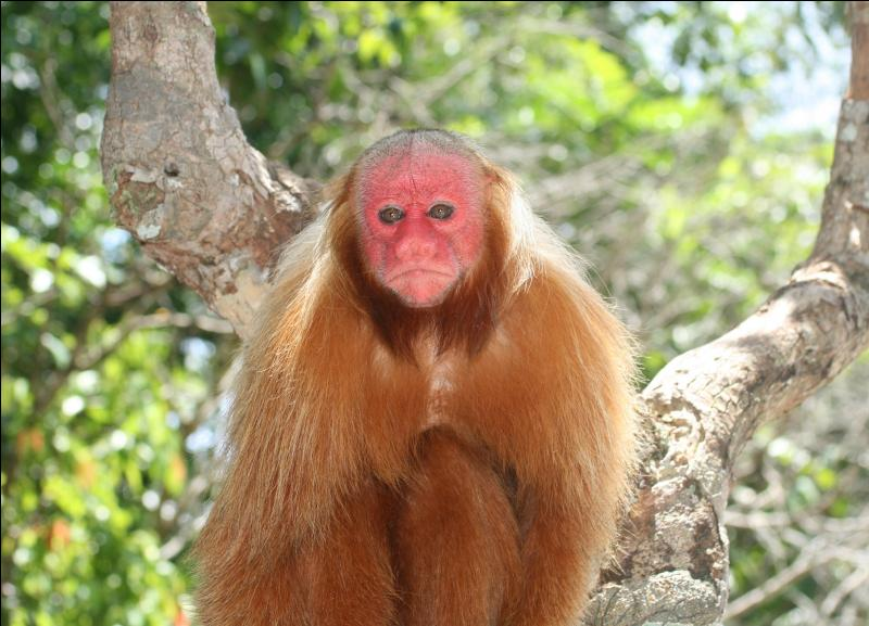Savez-vous comment se nomme ce primate ?