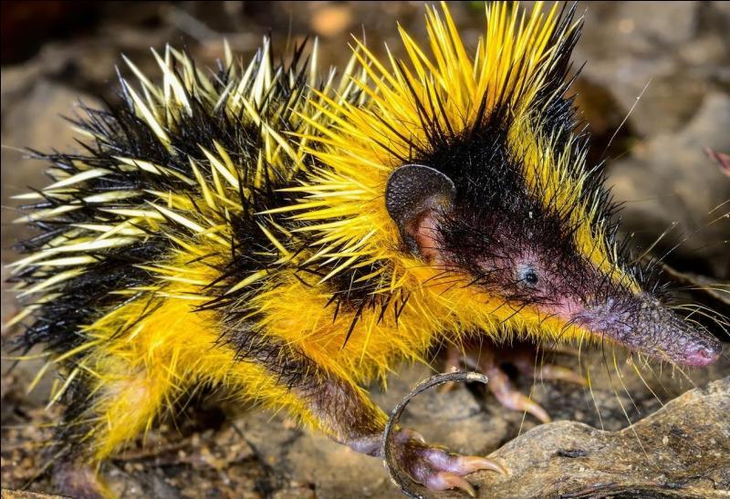 Quel est cet animal pour le moins piquant ?