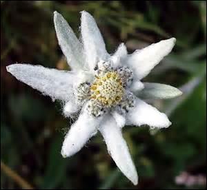 Laquelle de ces plantes est aussi appelée étoile des glaciers ou étoile d'argent ?