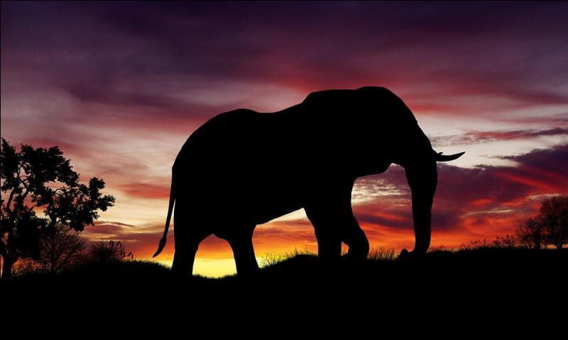 L'éléphant d'Afrique moyen pèse 6 tonnes. Combien pesait le plus gros éléphant jamais observé ?