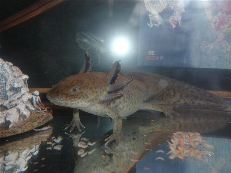 Qu'est-ce qui est vrai chez l'axolotl ?