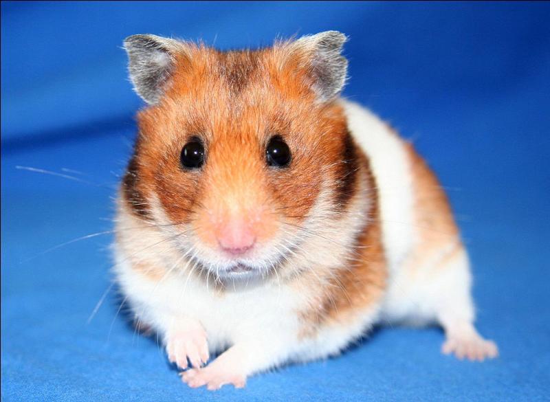 Cet animal est une souris.