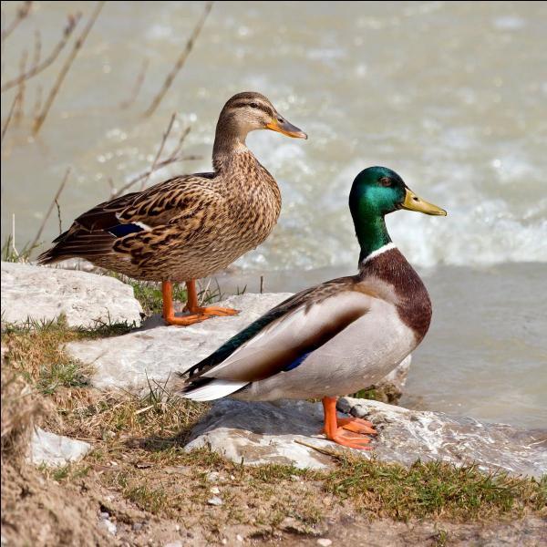 Voici un couple de canards colverts. La femelle est à gauche du mâle.