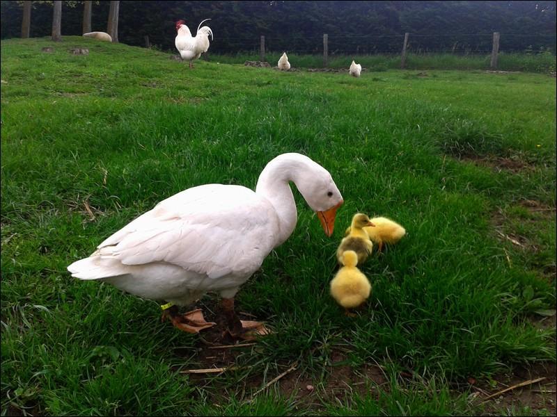 """Les petits de l'oie sont appelés """"oisions""""."""