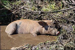 Les cochons se roulent dans la boue pour se rafraîchir et protéger leur peau du soleil.