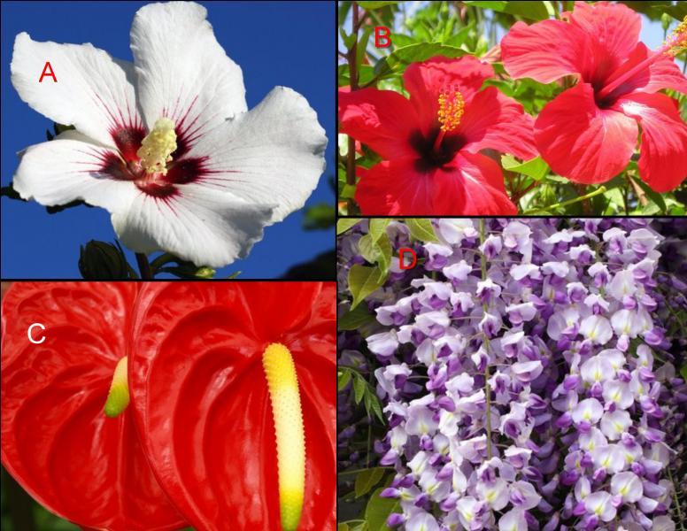 L'hibiscus est représenté en :