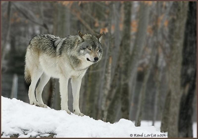 Combien de temps un loup peut-il se passer de manger ?