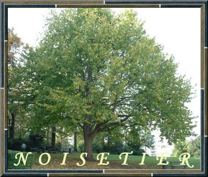 Lequel de ces arbres n'est pas un noisetier ?